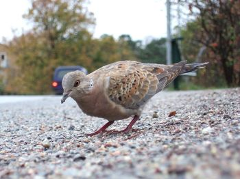 European Turtle Dove (Streptopelia turtur) ©WikiC