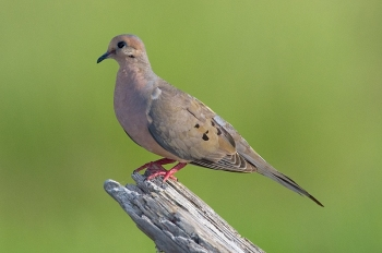 Mourning Dove (Zenaida macroura) by Reinier Munguia