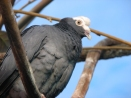 White-crowned Pigeon (Patagioenas leucocephala) ©WikiC