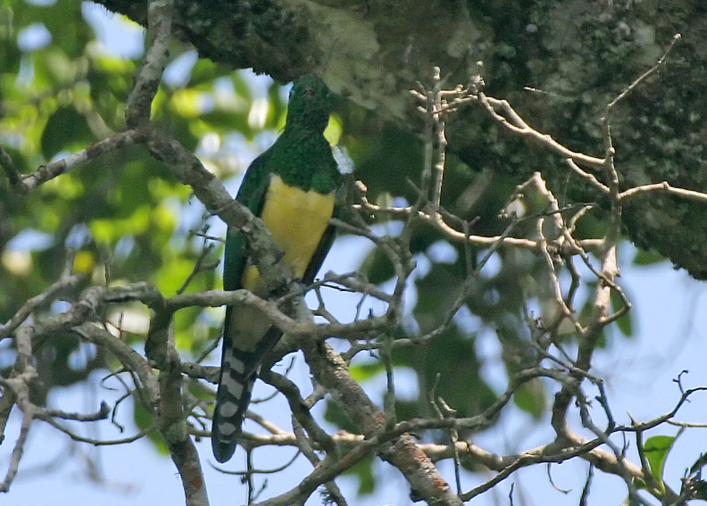 African Emerald Cuckoo (Chrysococcyx cupreus) ©WikiC