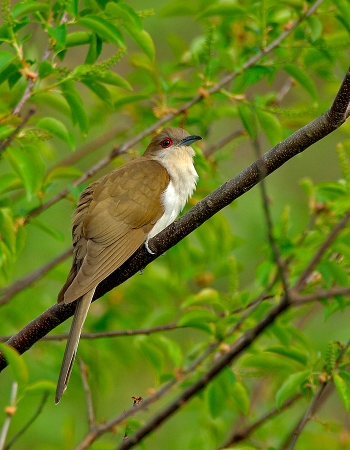 Black-billed Cuckoo (Coccyzus erythropthalmus) by Jim Fenton