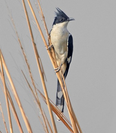 Jacobin Cuckoo (Clamator jacobinus) by Nikhil Devasar