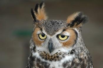 Great Horned Owl (Bubo virginianus) by Bob-Nan