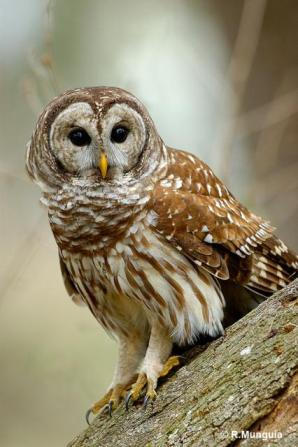 Northern Barred Owl (Strix varia) by Reinier Munguia