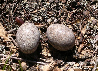 Common Nighthawk (Chordeiles minor) Eggs ©©CC