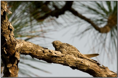 CommonNighthawk(Chordeiles minor) by Daves BirdingPix