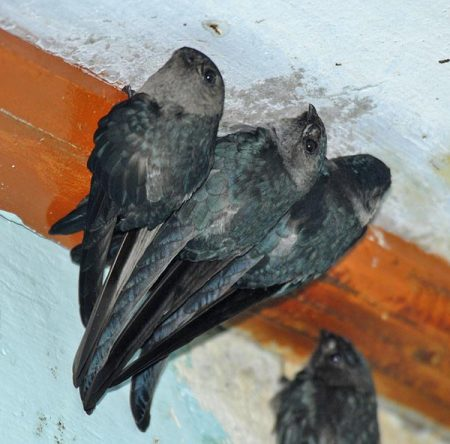 Glossy Swiftlet (Collocalia esculenta) by Nikhil Devasar