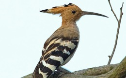 Hoopoe – A Bible Bird