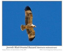 Bible Birds –Buzzards