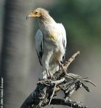 Egyptian Vulture (Neophron percnopterus) 3by Nikhil Devasar
