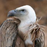 Griffon Vulture (Gyps fulvus) WikiC