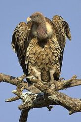 Rüppell's Vulture (Gyps rueppellii) WikiC