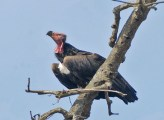 Red-headed Vulture (Sarcogyps calvus)
