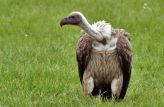 White-backed Vulture (Gyps africanus) WikiC