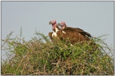 Lappet-faced Vulture (Torgos tracheliotus) by Daves BirdingPix
