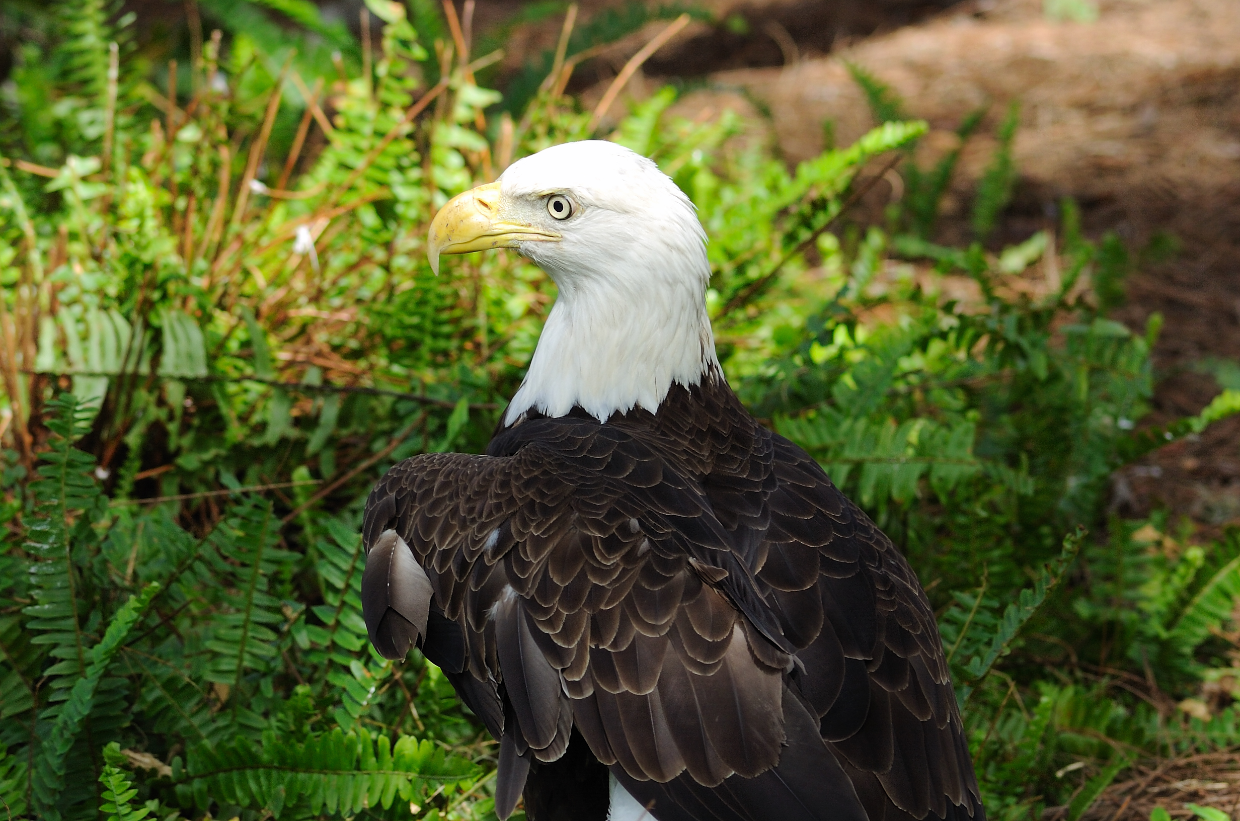 Bald Eagle (close up) Lowry Park Zoo by Dan