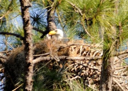 Eagle in Nest at Lake Howard