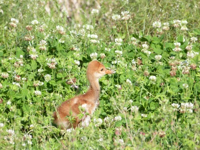 Sandhill Crane Chick at Circle B by Lee