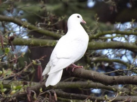 White Dove ©©