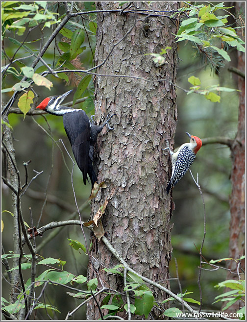 Pileated and Red-bellied Woodpecker on same tree by Ray