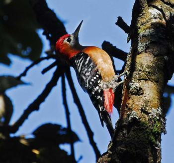 Rufous-bellied Woodpecker (Dendrocopos hyperythrus) by Nikhil Devasar