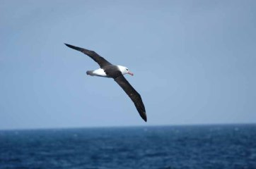 Black-browed Albatross (Thalassarche melanophris) by Bob-Nan