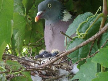 Common Wood Pigeon (Columba palumbus) with newly hatched young ©WikiC