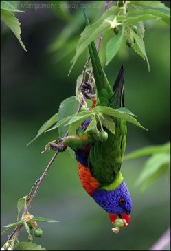 73 Rainbow Lorikeet by Ian
