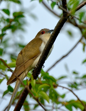 Black-billed Cuckoo (Coccyzus erythropthalmus) by Jim Fenton