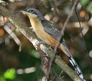 Mangrove Cuckoo (Coccyzus minor) ©WikiC