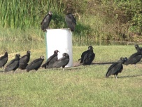 Black Vultures Looking For A Meal at Saddle Creek