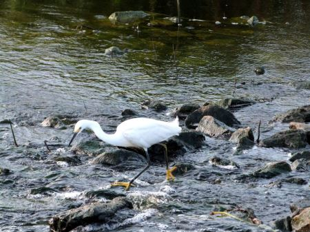 Snowy Egret Circle B 8-3-12 by Lee