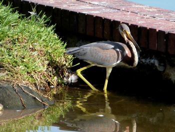 Tricolored Heron Immature Lake Morton 8-3-12