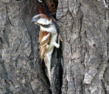 Sind Sparrow (Passer pyrrhonotus) by Nikhil Devasar