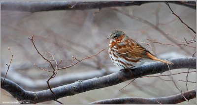 Fox Sparrow (Passerella iliaca) by Ray