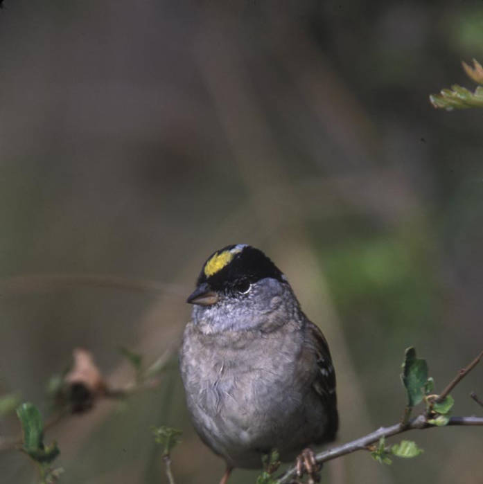 Golden-crowned Sparrow (Zonotrichia atricapilla) ©USFWS