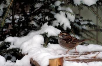 White-throated Sparrow (Zonotrichia albicollis) ©USFWS