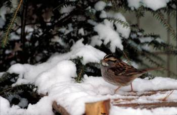 White-throated Sparrow (Zonotrichia albicollis) ©USFWS