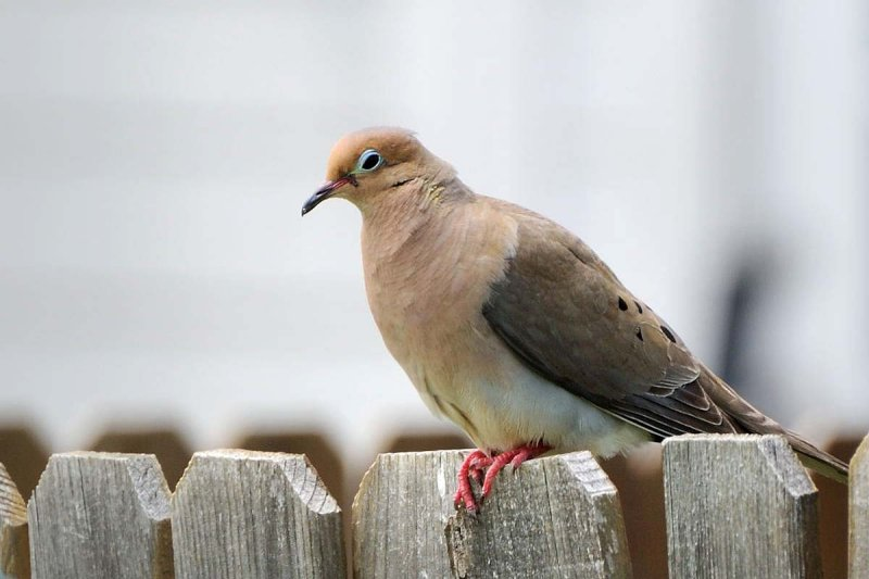 Bible Birds - Dove, Turtledove and Pigeon's Introduction (3/5)