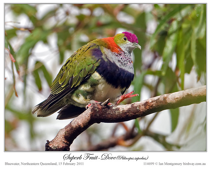 Bible Birds - Dove, Turtledove and Pigeon's Introduction (5/5)