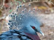 Victoria Crowned Pigeon (Goura victoria) by Lee at Zoo Miami