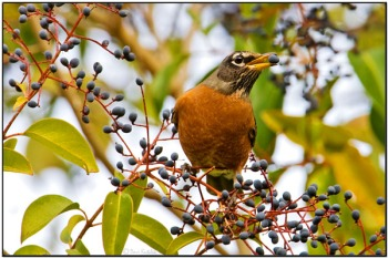 American Robin (Turdus migratorius) by Daves BirdingPix