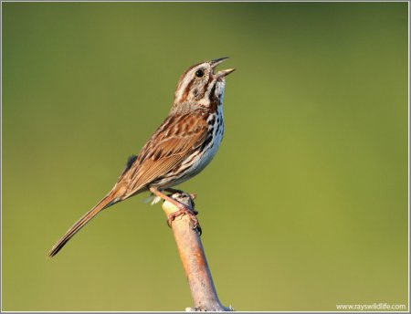 Song Sparrow by Ray - Stoney Creek Ontario Canada