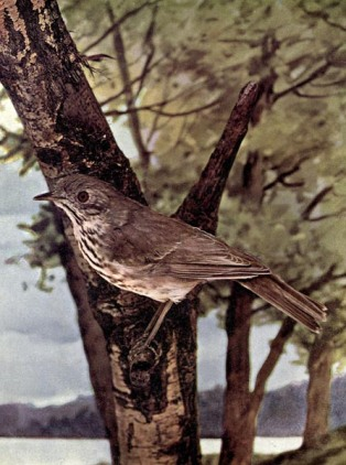 The Hermit Thrush for Birds Illustrated by Color Photography, 1897