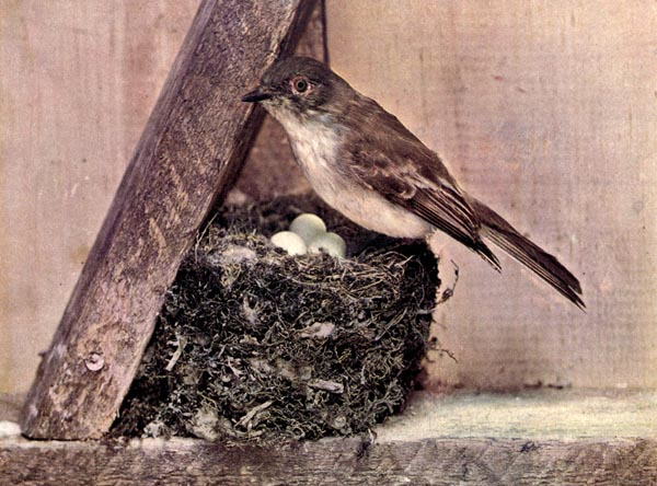 The Phoebe for Birds Illustrated by Color Photography, 1897