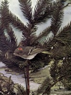 The Ruby-crowned Kinglet for Birds Illustrated by Color Photography, 1897