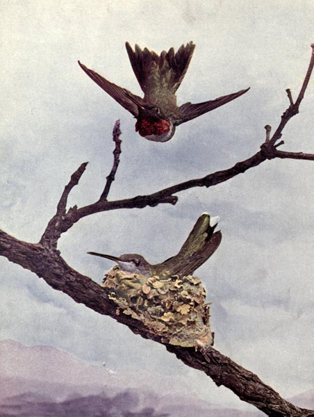 The Ruby-throated Humming Bird or Birds Illustrated by Color Photography, 1897