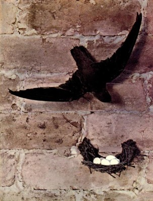 Chimney Swift of Birds Illustrated by Color Photography, 1897