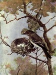 Wood Pewee of Birds Illustrated by Color Photography, 1897
