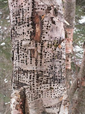 Yellow-bellied Sapsucker (Sphyrapicus varius) Holes in tree ©WikiC